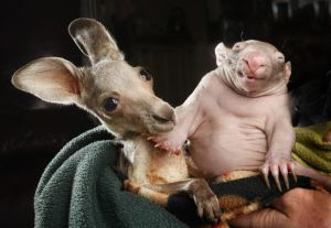 Orphaned kangaroo joey and wombat joey who share a pouch at the Wild about Wildlife Kilmore Rescue Centre in Victoria, Australia - 31 Jul 2012